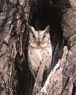 Indian (Collared?) Scops Owl.jpg