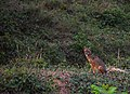 Indian Golden Jackal- Canis aureus.jpg