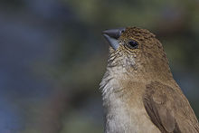 Indian Silverbill Tal Chappar Churu Rajasthan India 14.02.2013.jpg