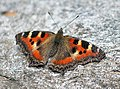 Indian Tortoiseshell Butterflly I IMG 3276.jpg