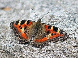 Aglais - Image: Indian Tortoiseshell Butterflly I IMG 3276