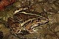 Indian bull frog IMG 2262.jpg