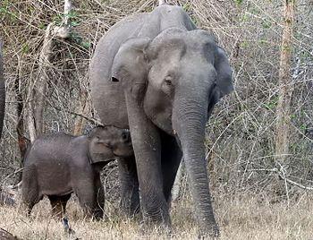 Indian elephant feeding its young calf.jpg
