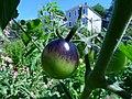 Indigo Rose Tomatoes.jpg