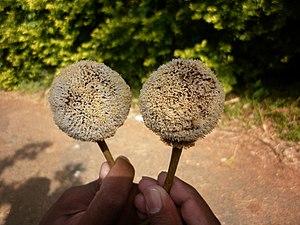 Parkia - Image: Inflorescence of Parkia biglandulosa