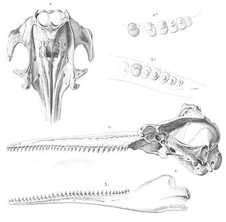 Bolivian river dolphin - Image: Inia geoffrensis boliviensis skull 1847