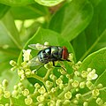 Insects Bee from Madayipara DSCN2136.jpg