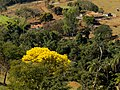 Ipê amarelo - panoramio (8).jpg