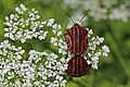 Italian striped bug (Graphosoma lineatum italicum) mating.jpg