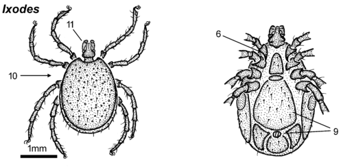 Ixodes-male-dorsal-ventral.png