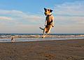 Jack Russell Terrier Lola Jumping.JPG