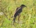 Jacobin cuckoo 5 (Clamator jacobinus).jpg