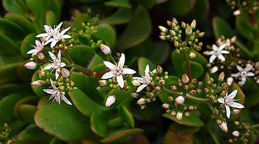 Jade plant flowers.jpg