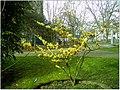 January Frost Botanic Garden Freiburg blühende China Zaubernuß - Master Botany Photography 2014 - panoramio (3).jpg