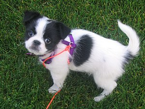 A Japanese Chin puppy.