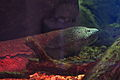Japanese giant salamander (Andrias japonicus) (16063246275).jpg