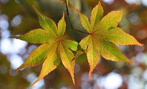 Japanese maple leaves.jpg