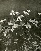 Jeffersonia diphylla WFNY-f018.jpg