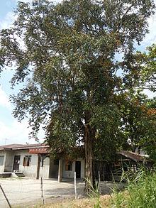 foto de Chrysophyllum cainito Wikipedia la enciclopedia libre