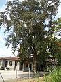 Jf5933Lubao San Nicolas Chrysophyllum cainito Pampangafvf 04.JPG