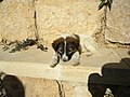 Jordan, Mount NEBO (Little dog having the name Moses).jpg