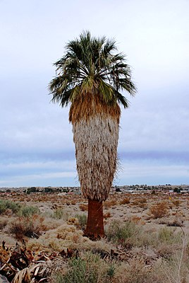 Washingtonia filifera im Joshua Tree National Park