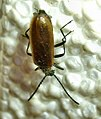 July10 003 Coleoptera (3183445979).jpg