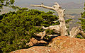 Juniperus ashei Wichita Mountain.jpg