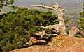 Juniperus ashei Wichita Mountain.jpg