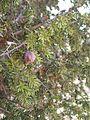 Juniperus drupacea 1.JPG