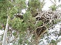 Juniperus osteosperma (5123667251).jpg