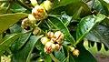 Juvenile Garcinia mangostana.jpg