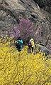 KOCIS Korea Seoul Spring Flowers 05 (8662711130).jpg