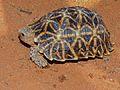 Kalahari Tent Tortoise (Psammobates oculifer) (6856968282).jpg
