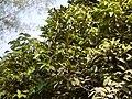 Kare Mara (Kannada- ಕರೆ ಮರ) (6935745269).jpg