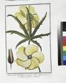 Ketmia, folio Manihot, serrato, flore amplo sulphureo - Ketmie à feuilles de Maniot (NYPL b14444147-1124984).tiff