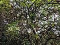 Kigelia africana 17.jpg