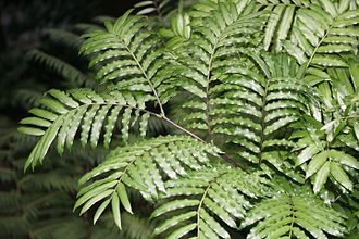 Kaipara Harbour - Image: King Fern Frond