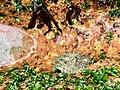 Kinmen Dolabella auricularia.jpg