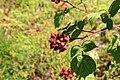 Kluse - Rubus phoenicolasius - Japanische Weinbeere 05 ies.jpg