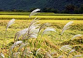 Korea-Andong-Hahoe Folk Village-Reed-01.jpg