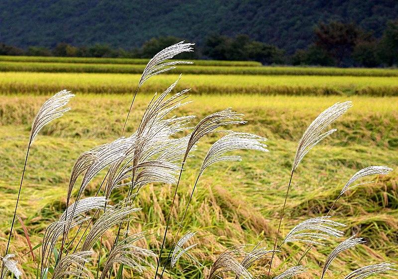 File:Korea-Andong-Hahoe Folk Village-Reed-01.jpg ...