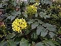 Korina 2011-04-05 Mahonia aquifolium 1.jpg