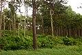 Korina 2013-07-14 Prunus serotina 1.jpg