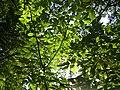 Korina 2015-09-01 Staphylea pinnata 1.jpg