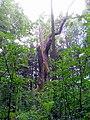 Královský dub v lese Bažantnici u Karolína - č. 1.jpg