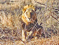 Krugerpark Léiw 2 h.jpg