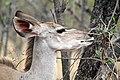 Kudu, Kruger National Park, South Africa (14791255859).jpg