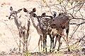 Kudu (Tragelaphus strepsiceros) (8603174521).jpg