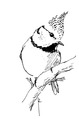 Kuifmees Lophophanes cristatus Jos Zwarts 2.tif